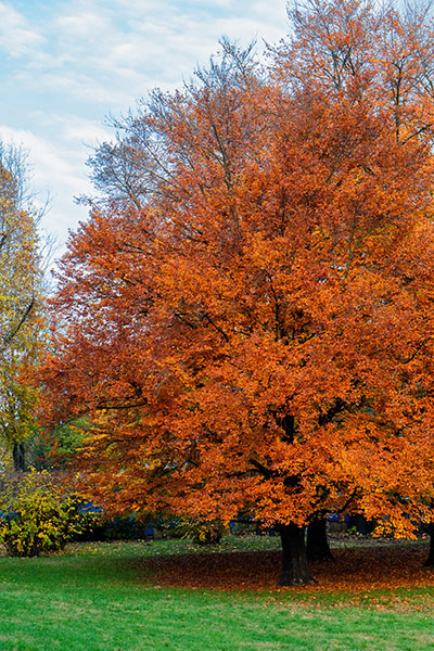 What does a maple tree look like?