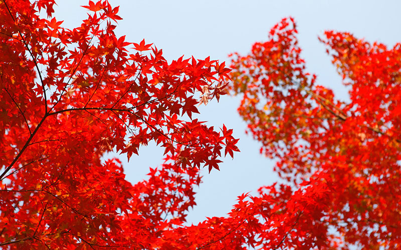 Japanese maple, the eye-catcher in your garden
