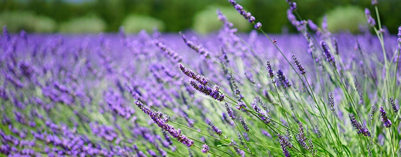 lavender scares away aphids