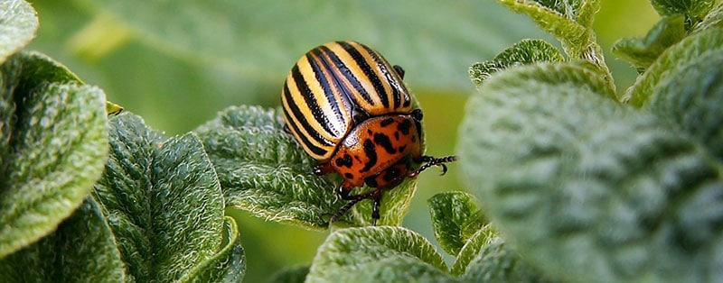 species of ladybugs