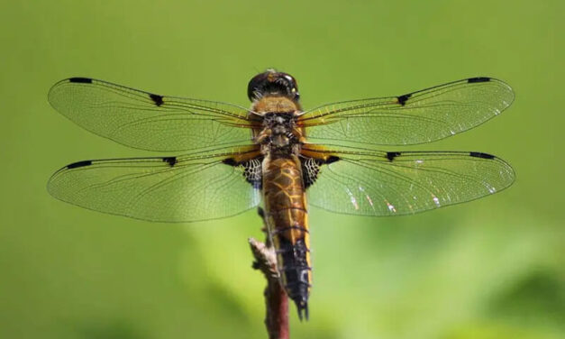 Do dragonfly sting? Facts and Fables about Dragonflies.