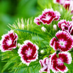 Carnation flower, a list with the 11 most beautiful types