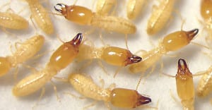 انواع النمل الابيض