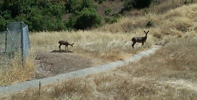 Two deer - Deer on Bacigalupi Drive