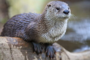 Ottersits on a log, looking off in the distance