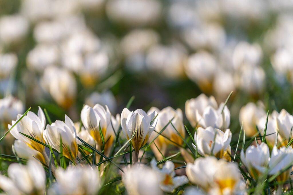 flowers, crocus, petals