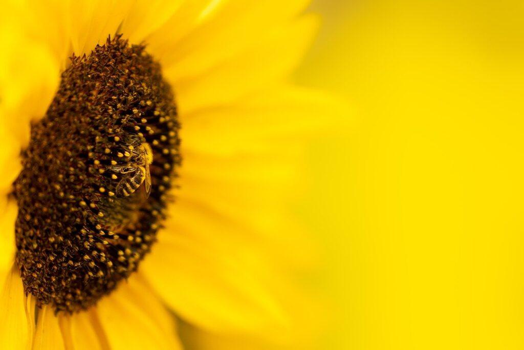 sunflower, flower, bee-6545123.jpg