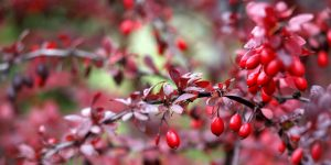 From Ancient Wisdom to Modern Science - The Health Benefits of Berberine