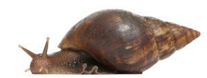 Nanaks Pest Alert Giant African Land Snaill