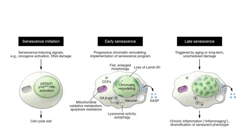 Senescence cells lifecycles