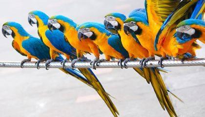 Golden Macaw Parrots