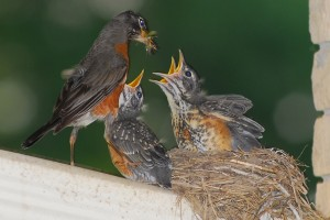 Mother Robin Feeds Young in Nest