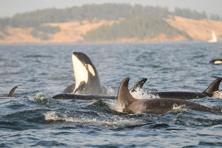 Learning From Orca Menopause