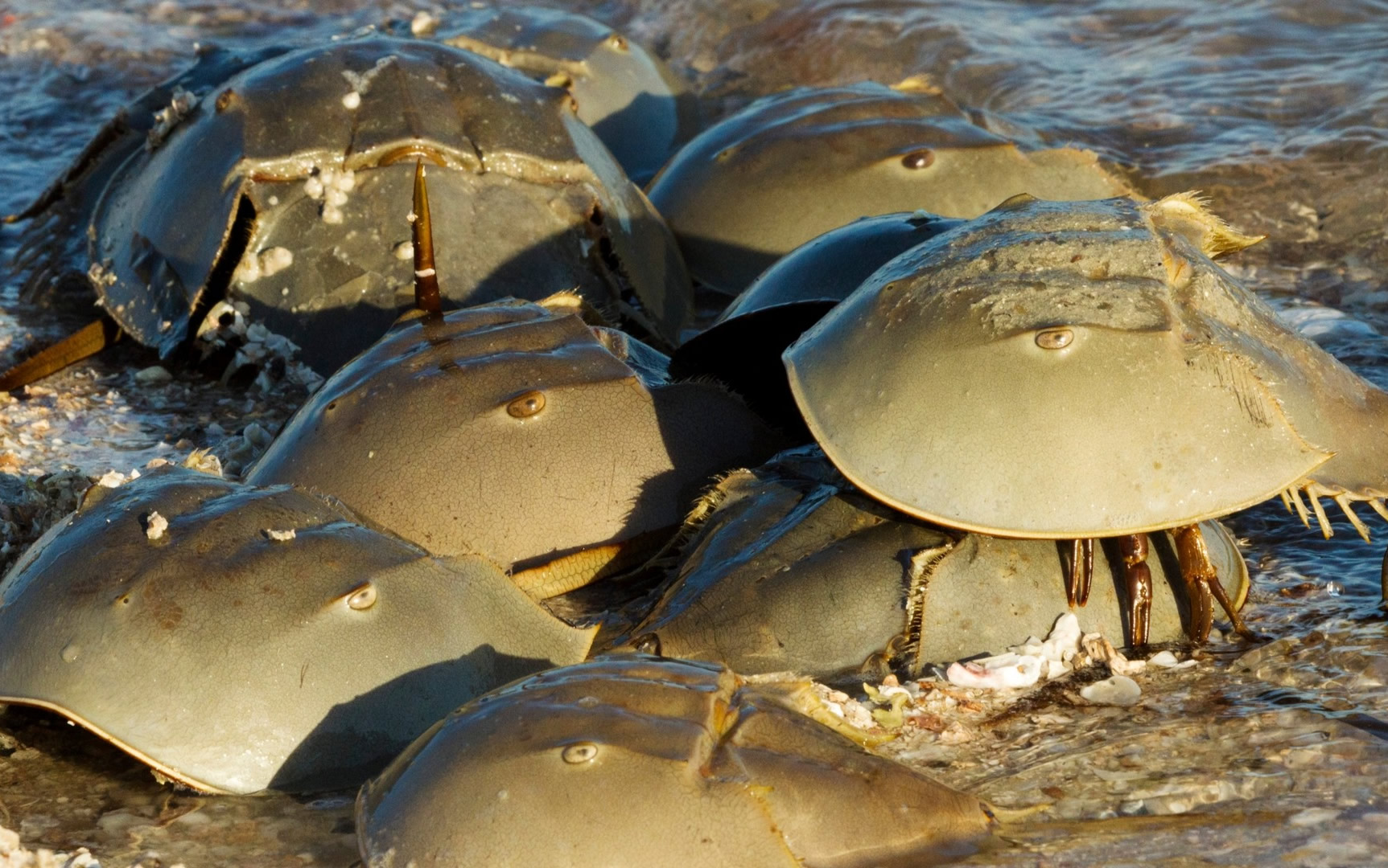 Not only do horseshoe crabs play a role in sterility & endotoxin testing – they are also helping develop a Corona virus vaccine too!
