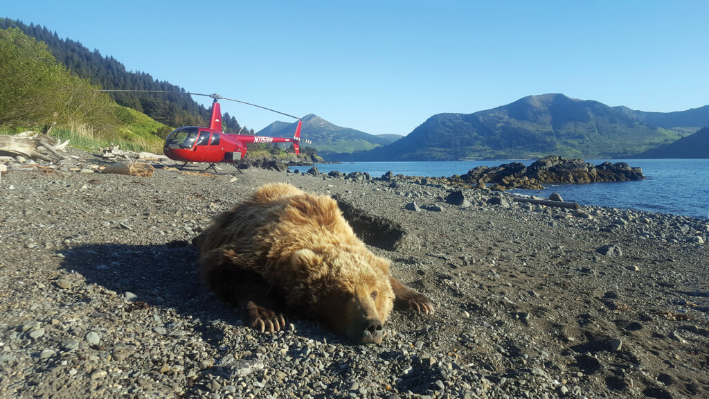 This immobilized brown bear was involved in research on Raspberry Island, Alaska.