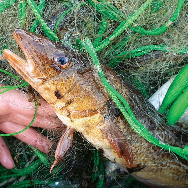 Netted yellow cod
