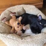 """Meet Harley.  Rescued in Windward at 4 weeks.  Adopted by Director of Membership Rosie Slocum.  Happy with her favorite toy """"Mr. Moose."""""""