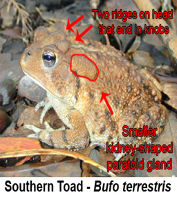 Nontoxic Southern Toad