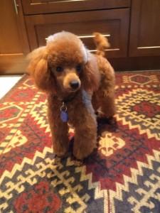 pet apricot poodle belonging to Ellen and Jerry Falk