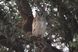 Verreaux eagle owl at Selinda Camp, Botswana.  Taken by  Margie Berg in 2003.