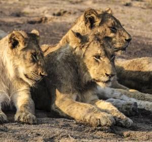 Taken in Mala Mala camp South Africa by Margie Berg 2003.
