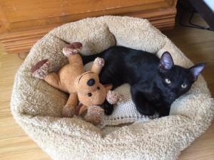 """Meet Harley.  Rescued in BallenIsles at 4 weeks.  Adopted by Director of Membership Rosie Slocum.  Seen here with favorite toy """"Mr. Moose."""""""