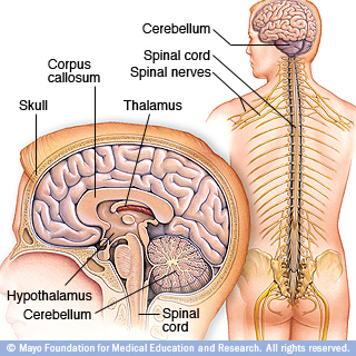 bn00033-brain-and-nervous-system