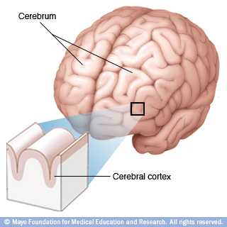 bn00033-cerebrum