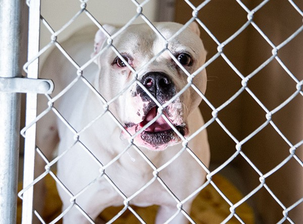 large shelter dog in kennel run