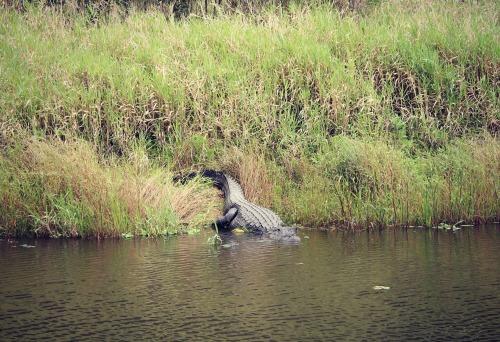 Siesta Key Myakka Alligator
