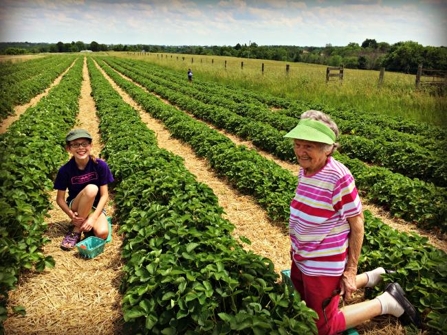 Strawberry Picking 2016 1