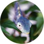 Baby Deremensis Chameleon