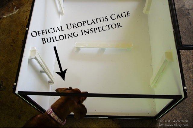 Dog inspecting the leaf tailed gecko cage building process