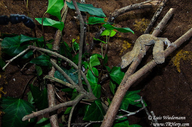 Uroplatus leaf tailed gecko in Dragon Strand cage.