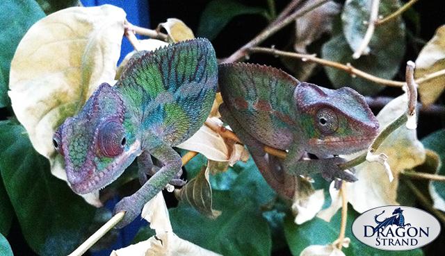 Panther Chameleons Together