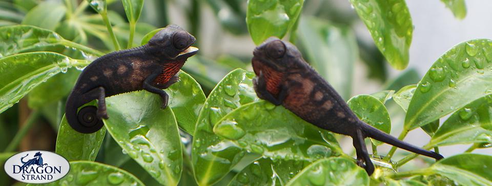 Dominance Play Between Juvenile F. Pardalis Panther Chameleons