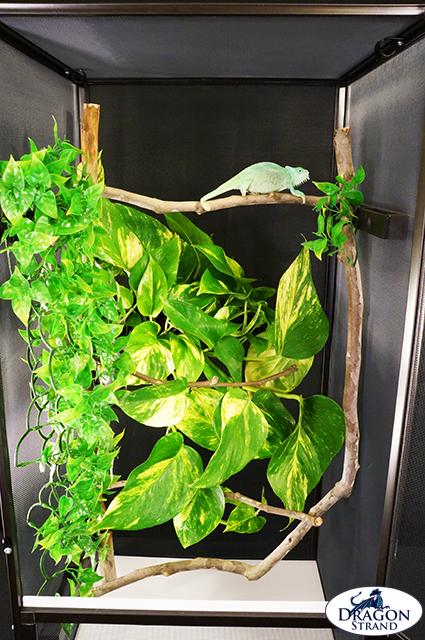 Naturalistic Chameleon Cage Setup