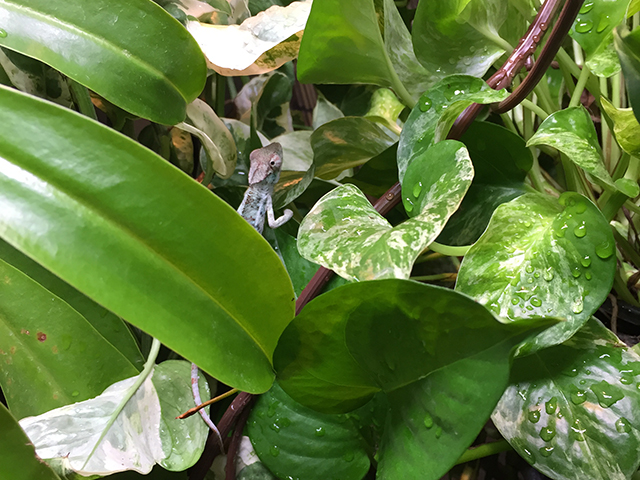 Baby Chameleon in a large chameleon cage