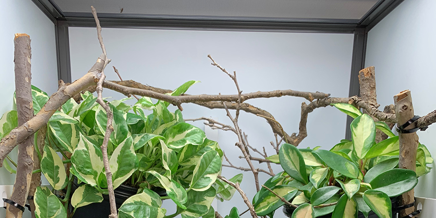 perching branch for a chameleon