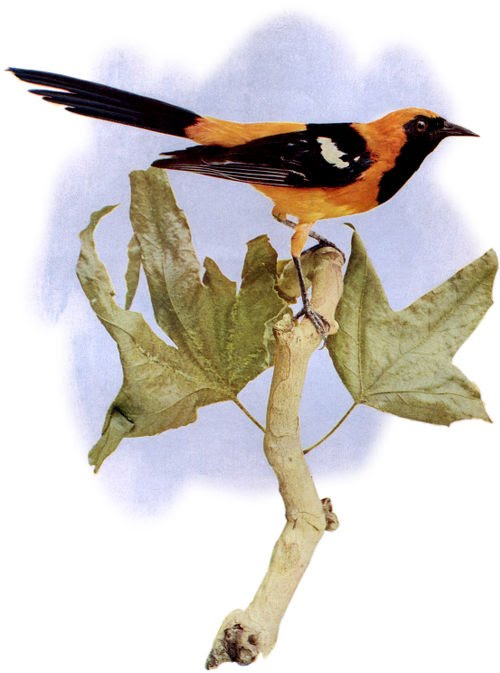 Nature Poems for Kids Oriole