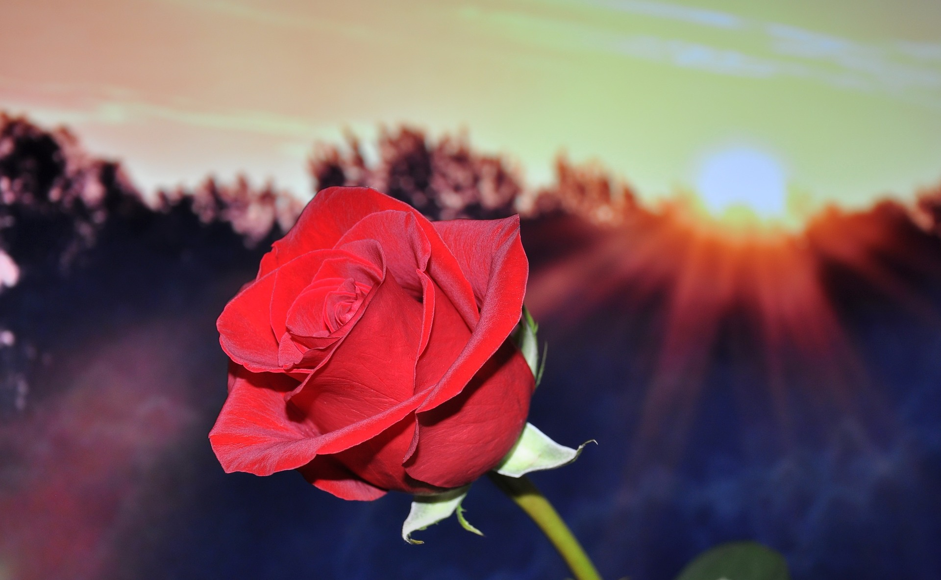 Red Rose Into The Sun
