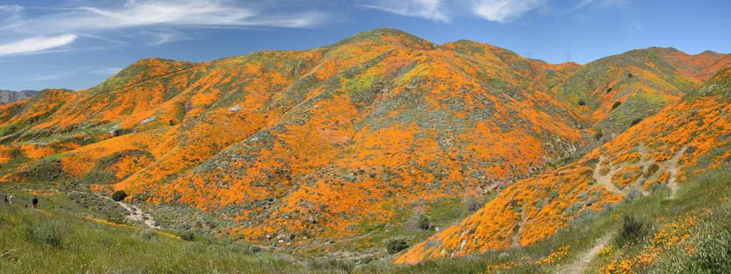 California Wild flower super bloom