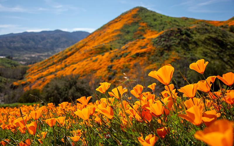 California poppy - Wildflower Superbloom