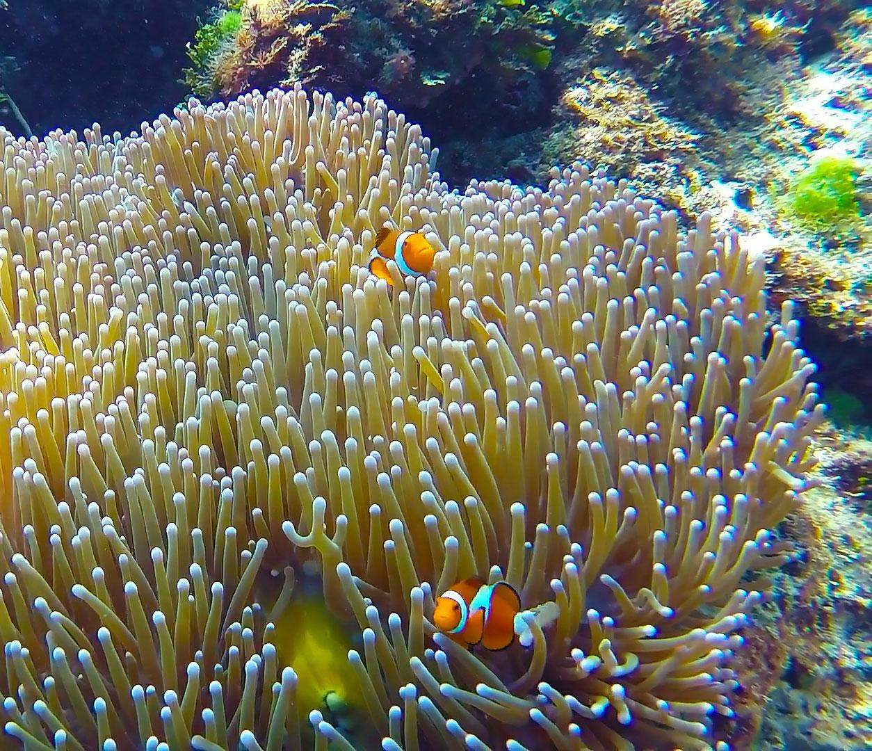 Clown Fish, Philippines