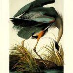 John James Audubon - Great Blue Heron