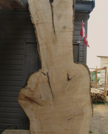 Main image - Huge Ash wood live edge slab for sale 48 wide by 106 inches long