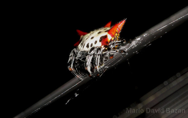 spiny orb weaver known as crab spider in sarasota florida