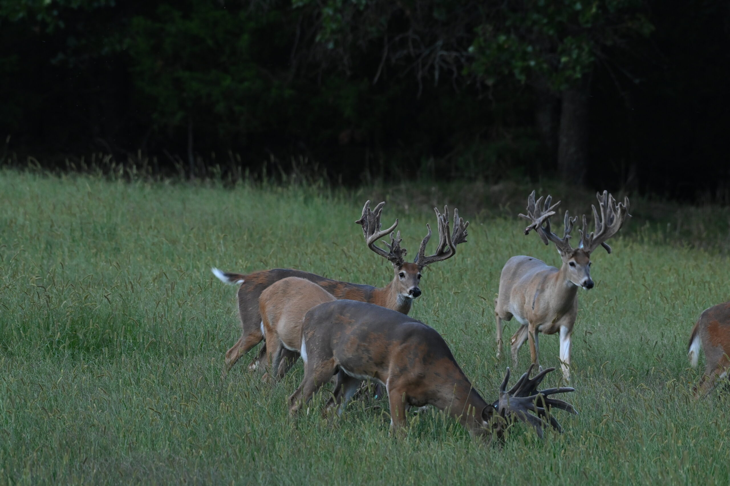 Whitetail Deer in MO