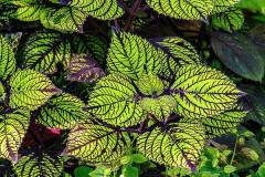 coleus-bill-barber