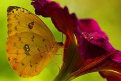 orange-sulphur-on-flower-bill-barber